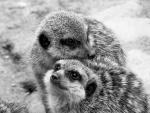 Les suricates.jpg