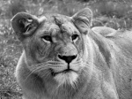 La lionne.jpg